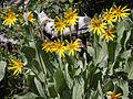 Mule ears Wyethia mollis 12flower bush.jpg