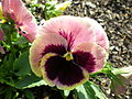 Multi-colored pansy in Chicago, 2007.JPG