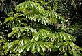 Musanga cecropioides01.jpg