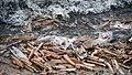Muscheln in der Brandung auf Norderney, Nationalpark Niedersächsisches Wattenmeer.jpg