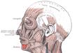 Musculusdepressorlabiiinferioris.png