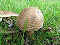 Mushroom (26879966658).jpg