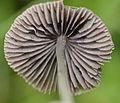 Mushroom - Psathyrella sp (11966416684).jpg