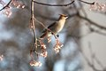 My first ever Waxwing! (5254284630).jpg