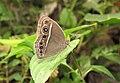Mycalesis mineus – Dark-branded Bushbrown 06.jpg