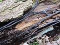 Mycelial cord Armillaria (rhizomorphs).jpg