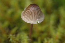 A mushroom with a small cap shaped like a round-tipped cone. It is seen from above, with a delicate stem and gills quite visible through the cap, making brown marks down it.