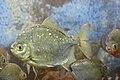 Myloplus rubripinnis, Aquarium Erfurt, Germany - 20120520.jpg