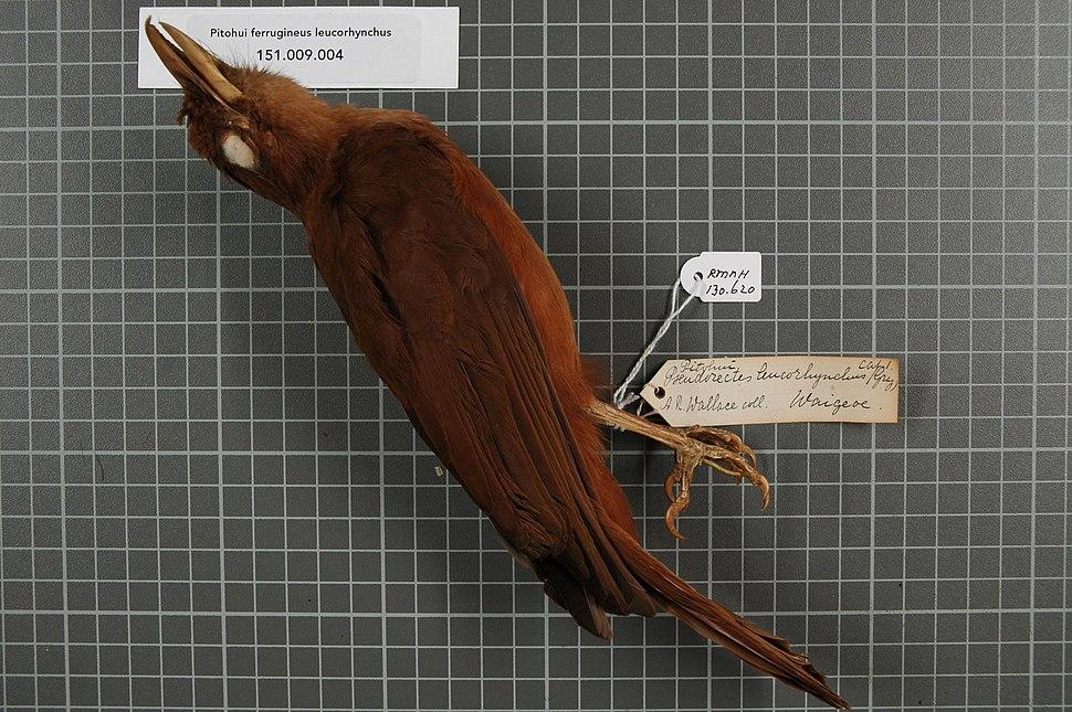 Naturalis Biodiversity Center - RMNH.AVES.130620 1 - Pitohui ferrugineus leucorhynchus (Gray, 1862) - Pachycephalidae - bird skin specimen.jpeg