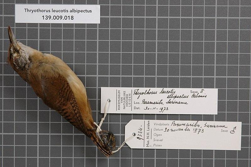 File:Naturalis Biodiversity Center - RMNH.AVES.71997 1 - Thryothorus leucotis albipectus Cabanis, 1849 - Troglodytidae - bird skin specimen.jpeg