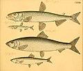 Naturgeschichte in Bildern mit erläuterndem Text (Taf. CXXVIII) (6059228792).jpg