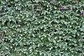 Neckera crispa (b, 144729-474810) 0220.jpg