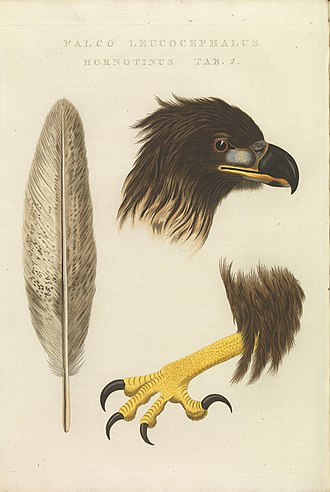 White-tailed eagle - An illustration of the large bill and sharply curved talons of a juvenile white-tailed eagle.