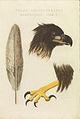 Nederlandsche vogelen (KB) - Haliaeetus albicilla (418b).jpg