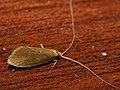 Nematopogon metaxellus (38964287270).jpg