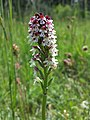 Neotinea ustulata subsp. ustulata sl1.jpg
