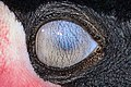 Nictitating membrane - Nickhaut - Membrana nittitante - (Balearica pavonina - Weltvogelpark 2013).jpg
