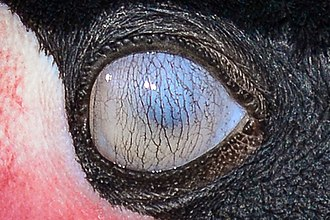 Nictitating membrane - The nictitating membrane (completely closed) of a black crowned crane, right eye