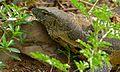Nile Monitor (Varanus niloticus) (6817420119).jpg