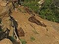 Nilgiri Tahr IMG 3825.jpg