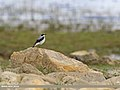 Northern Wheatear (Oenanthe oenanthe) (31978695192).jpg