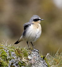 Northern wheatear male09.JPG
