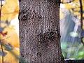 Norway Maple (30755912260).jpg