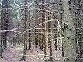 Norway Spruce forest, Latvia Фото0314.jpg