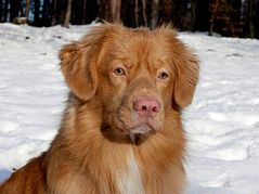 Nova Scotia Duck Tolling Retriever.jpg