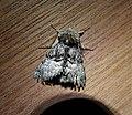 Nut Tree Tussock. Colocasia coryli (47971200346).jpg