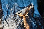 Nuthatch - Lackford Lakes (31171304783).jpg