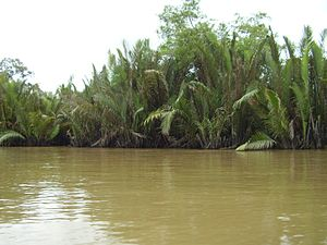Mahakam River - Nypa in Mahakam Delta