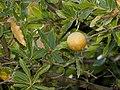 Oak Gall - Flickr - treegrow (1).jpg