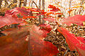Oak Leaves turned Red (21786970694).jpg