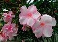 Oleander - Flickr - Stiller Beobachter.jpg