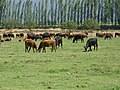 Olivar, vacas. - panoramio.jpg