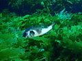 Omegophora armilla Ringed toadfish PC280373.JPG