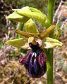 Ophrys incubacea.jpg