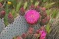 Opuntia basilaris 7954.JPG