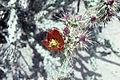 Opuntia versicolor staghorn cholla 2 WPC.jpg