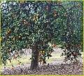 Orange Tree 2-9-14a (12505701384).jpg