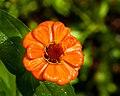 Orange Zinnia (28519640831).jpg