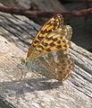Orange butterfly 02 bgiu.jpg