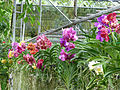 Orchids in Thailand 2013 2752.jpg