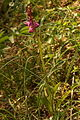 Orchis mascula PID771-2.jpg
