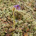 Orobanche uniflora (2).jpg