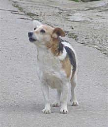 Alopekis Wikipedia