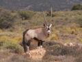 Oryx gazella PICT1415.JPG