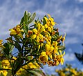 Osteospermum moniliferum, Coastal Cliffs Walkway, Canterbury, New Zealand 10.jpg
