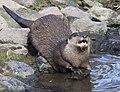 Otter 3 (4470538920).jpg